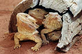 Alice Springs Reptile Centre - Accommodation QLD