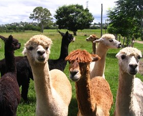 Banyandah Alpacas - Accommodation QLD