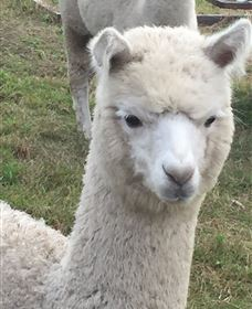 Storybook Alpacas - Accommodation QLD