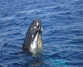 Jervis Bay Whales - Accommodation QLD