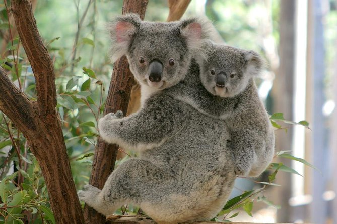 Lone Pine Koala Sanctuary Day Pass