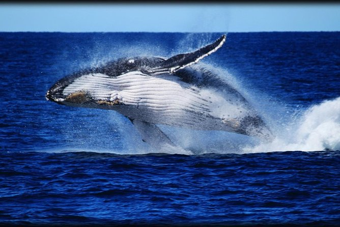 Whale Watching Cruise from Redcliffe Brisbane or the Sunshine Coast