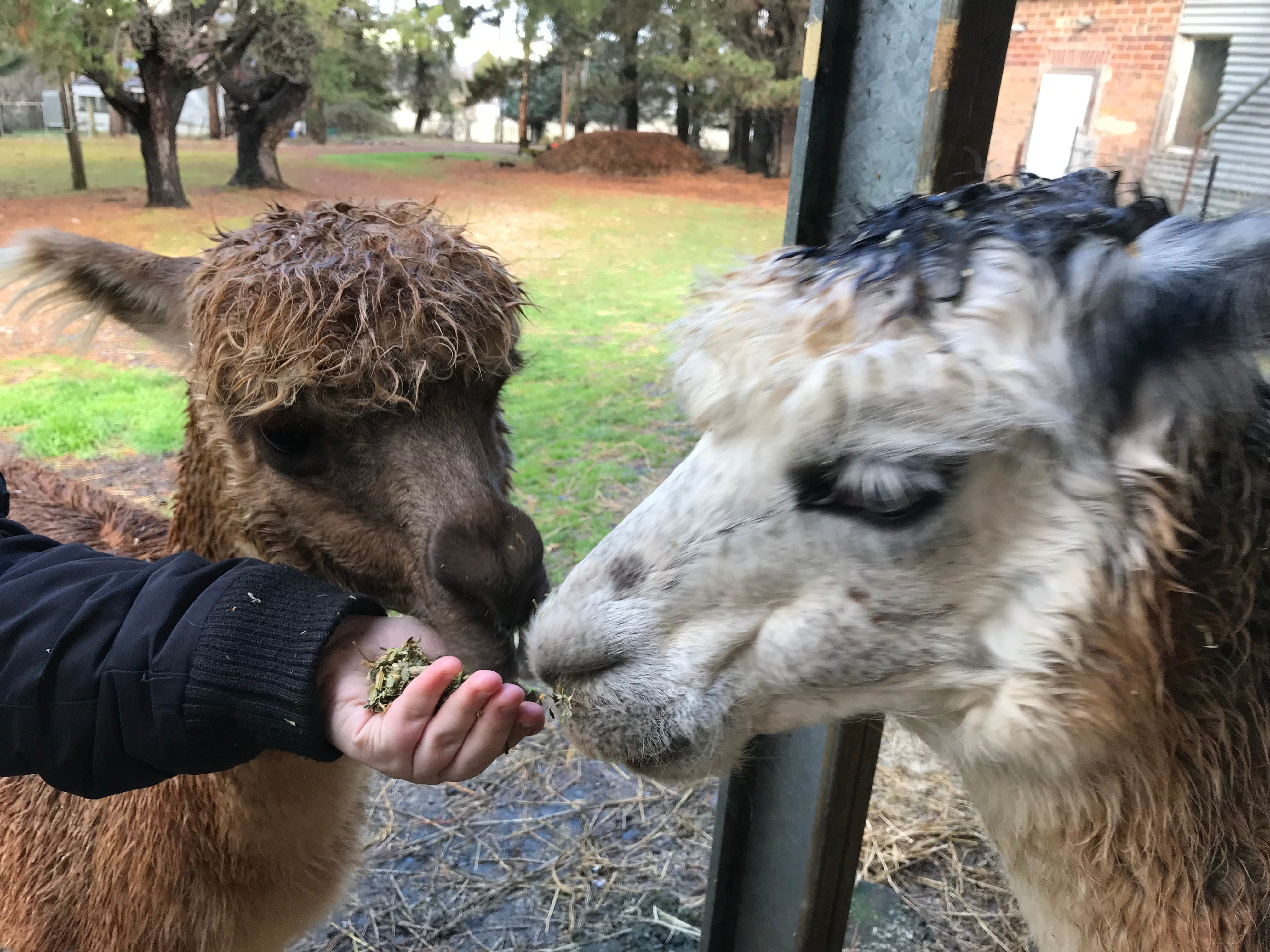 Alpaca Farm Experience at Crookwell - Accommodation QLD