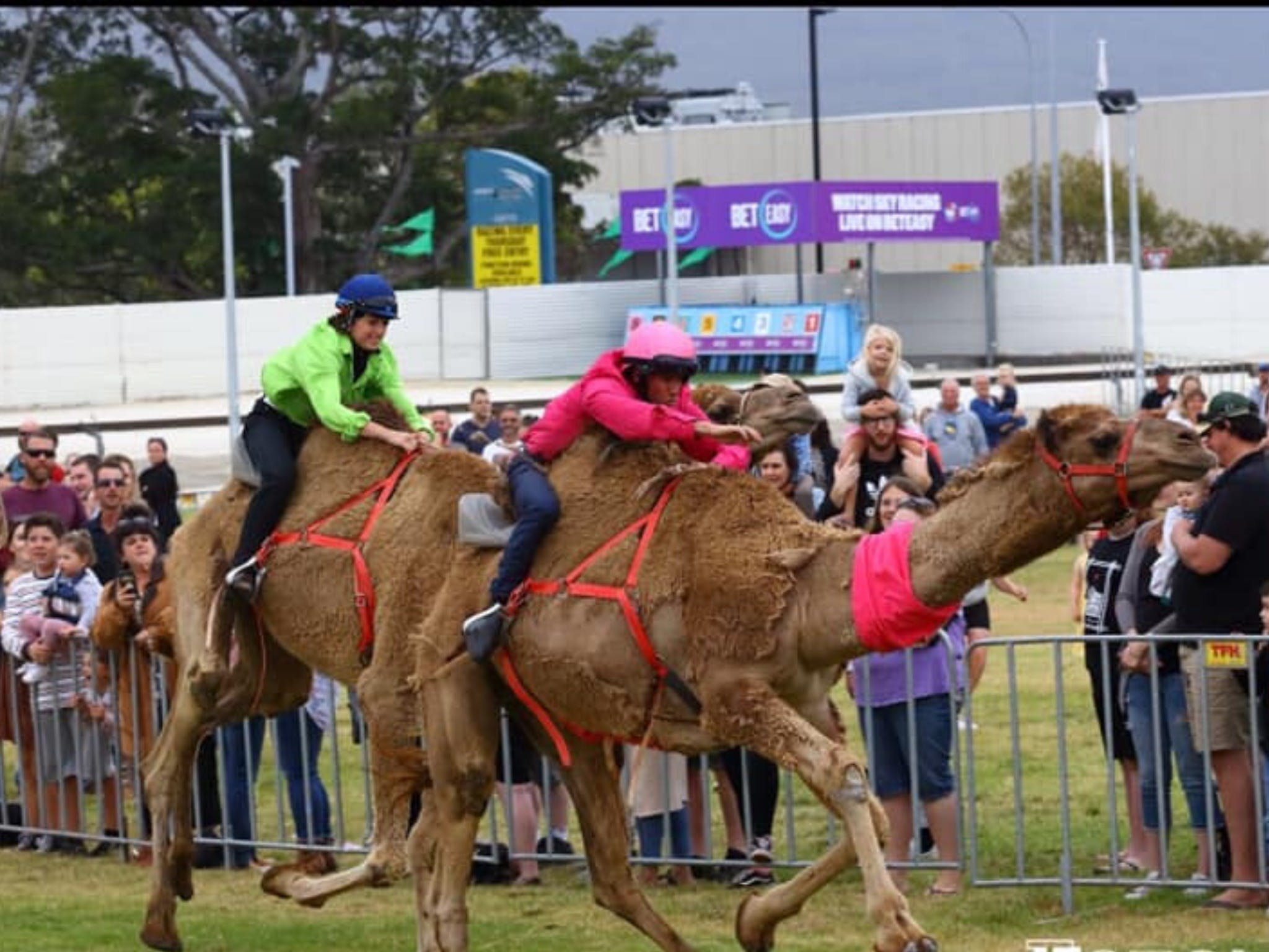 Camel Races at Gosford Showgrounds - Accommodation QLD